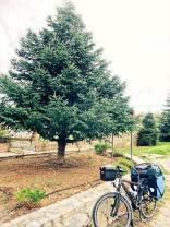 A pinsapo tree
